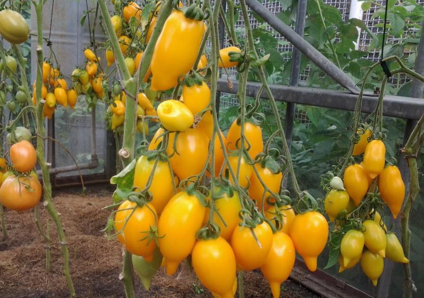 Сорт томата золотая канарейка
