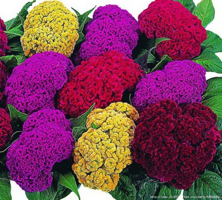 Сорта уличных цветов с
