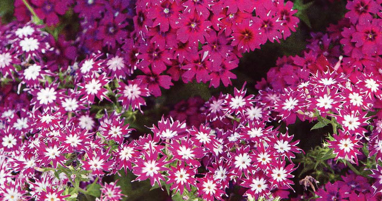 Флокс друммонда цветов рассада