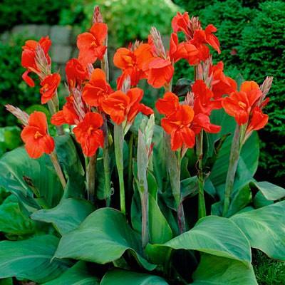 Цветы канны описание